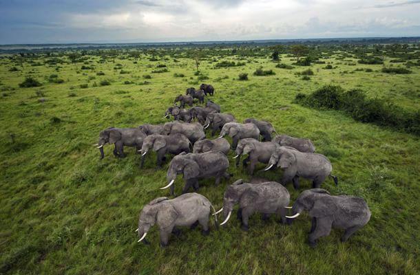 branco di elefanti in cammino
